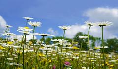 Margeritenwiese (Mariandl48) Tags: margeritenwiese margeriten landschaft sommersgut wenigzell steiermark austria