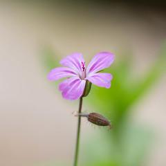 Le petit Robert :-) (Gisou68Fr) Tags: herbeàrobert géranium becdegrue bokeh vert green rose pink beige nature plante plant geranium