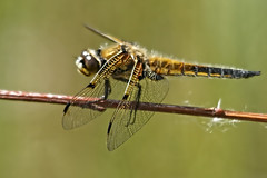 Four-Spotted Chaser Dragonfly (collierpeter65) Tags: four spotted chaser
