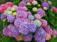hydrangea (geneward2) Tags: hydrangea san diego california plant flowers nature