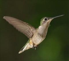 Hummingbird Portrait (MJRodock) Tags: olympus em1markii mzuiko digital ed 40150mm f28 hummingbird