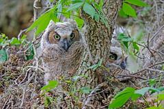 Great Horned Owl (Alan Gutsell) Tags: greathornedowl great horned owl raptor birdofprey large wildlife brazosbendstatepark statepark alan nature owlett spring