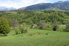 Cows @ Hike to Vallée du Laudon