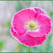 Wind-Whipped Poppy