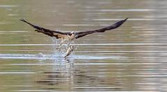 A graceful capture (Daniel Q Huang) Tags: inflight birds eagle osprey fish lake pond water prey