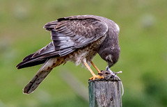 Northern Marsh Hawk (edhendricks27) Tags: hawk marsh marshhawk animal bird wildlife nature canon