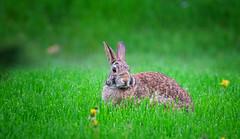 Peaceful coexistence (Dan Haug) Tags: rabbit easterncottontail sylvilagusfloridanus grazing coexist lawn yard xt3 xf100400mmf4556rlmoiswr xf100400mm fujifilm fujixseries mirrorless explore explored