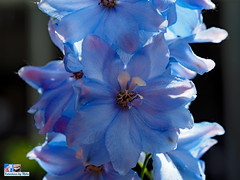 Cool Blue Flower (FotoCheez) Tags: fotocheez insects bee honey seattle light refraction macro green screen fun river happy working flowers bugs dog roll animal color snow fall summer winter spring autumn fire architecture art fx beach bird blue boat bridge building butterfly washington flower pretty beautiful christmas prism city gsd clouds coast fish red fog forest garden grass cold house ice island lake landscape leaf leaves hike camera music test seahawks cannabis love life trump prayingmantis helperbees