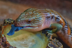 So that's why it's called a blue-tongued skink (Pat Charles) Tags: bluetonguedskink bluetonguedlizard bluetongue bluetongued bluey lizard reptile skink australia drink water tiliqua darwin northernterritory nt travel tourism wildlife animal eye crocosauruscove