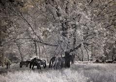 Mules under the tree (Mulewings~) Tags: infraredphotography aroundthefarm funwithinfrared monotones blackandwhite animals farmlife mules picnicspot