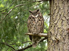 Great Horned Owl (RebelRob) Tags: britishcolumbia birds birdwatching birdsofprey bubovirginianus greathornedowl owls vancouverisland victoriabc