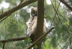 Great Horned Owlet (RebelRob) Tags: britishcolumbia birds birdwatching birdsofprey bubovirginianus greathornedowl owls vancouverisland victoriabc