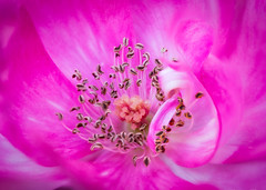 Curled Petal (Joe_R) Tags: flower rose macro nature natureinfocusgroup macrounlimited
