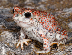 Red-spotted Toad (Anaxyrus punctatus) (McCall Wildlife Photography) Tags: toad redspottedtoad bufopunctatus anaxyruspunctatus bufo anaxyrus arizona wildlife wildlifephotography mccallwildlifephotography macro santacruzcounty nature outside amphibian anura d7000