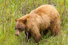 Big red (ChicagoBob46) Tags: cinnamonblackbear blackbear bear yellowstone yellowstonenationalpark nature wildlife coth5 ngc naturethroughthelens npc