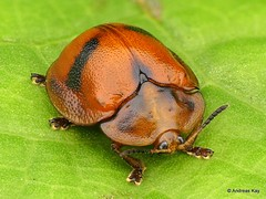 Tortoise beetle, Cassidinae (Ecuador Megadiverso) Tags: andreaskay beetle cassidinae chrysomelidae coleoptera ecuador focusstack leafbeetle tortoisebeetle