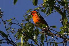 1.29976 Piranga à dos rayé / Piranga bidentata bidentata / Flame-colored Tanager / Quitrique de Espalda Rayada (Laval Roy off until 07/08/2019) Tags: quitriquedeespaldarayada mexique aves oiseaux birds lavalroy pirangaàdosrayé pirangabidentatabidentata flamecoloredtanager cardinalidés passeriformes jalisco