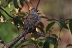 1.04655 Colombe inca / Columbina inca / Inca Dove (Laval Roy) Tags: jalisco mexique aves oiseaux birds canon colombeinca columbinainca incadove columbidés columbiformes lavalroy