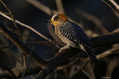 1.09584 Pic élégant / Melanerpes chrysogenys flavinuchus / Golden-cheeked Woodpecker (Laval Roy off until 07/08/2019) Tags: mexico jalisco aves birds oiseaux lavalroy mexique picélégant melanerpeschrysogenysflavinuchus goldencheekedwoodpecker picidés piciformes eltuito ranchoprimavera