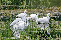 Egret Gathering (Gary Grossman) Tags: egrets herons birds pond grasses spring northwest washington wildlife ridgefield garygrossmanphotography garygrossman shotsofawe pacificnorthwest wildlifephotography naturephotography ridgefieldnationalwildliferefuge