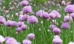 A Nature Realm Sea Of Beautiful Chives (Eat With Your Eyez) Tags: chive chives onion onions bloom blooming flower flowering plant nature outdoors garden seiberling realm akron ohio metro parks bokeh panasonic fz1000 foodvegetableeatfoodiefood photographygrowgrowing