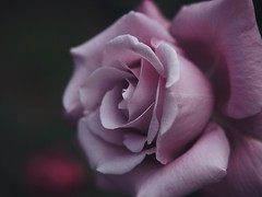 Charles de Gaulle (Kito K (fxkito2)) Tags: japan tokyo macro flower omd rose bokeh nature closeup lumix fineart olympus blooming color dof