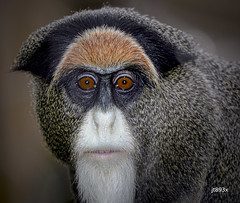 De Brazza's Monkey (jt893x) Tags: 150600mm cercopithecusneglectus debrazzasmonkey jt893x monkey nikon nikond500 primate sigma sigma150600mmf563dgoshsms thesunshinegroup alittlebeauty coth coth5 ngc