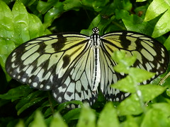 Rice Paper Butterfly (Toats Master) Tags: smileonsaturday butterflies ricepaper paperkite wings flight nature