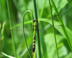 green dragonfly (Cheryl Dunlop Molin) Tags: dragonfly greendragonfly insect