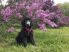 (Jean Arf) Tags: mersey poodle dog standardpoodle puppy baby spring 2019 highlandpark rochester lilac bush blossom bloom flower