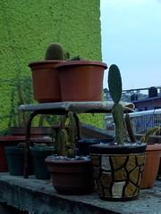Cactus y suculentas (Juan Xic Eseyosoyese) Tags: cactus y suculentas mis plantas nopal nopales mamilarias espinas siemprevivas calor piedras adorno azotea méxico tarde noche trozos alma mammillaria backebergiana opuntia indica varios macetas euphorbia macro cactaceas nikon savila