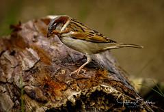 Starting to Building a Nest (Jeffrey Balfus (thx for 5,000,000 views)) Tags: happyhollow sony100400mmgm sonya7iii sonyalpha sanjose ca us birds sparrow