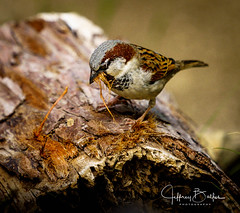 Sparrow 35227 (Jeffrey Balfus (thx for 5,000,000 views)) Tags: sony100400mmgm sonya7iii sonyalpha sanjose ca us bird nature
