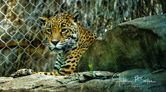 Happy Hollow-35275 (Jeffrey Balfus (thx for 5,000,000 views)) Tags: happyhollow sony100400mmgm sonya7iii sonyalpha jaguarcat sanjose ca us