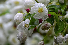 Apple Tree Blossoms in the Rain (Paul B0udreau) Tags: explore