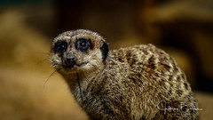 Happy Hollow-35087 (Jeffrey Balfus (thx for 5,000,000 views)) Tags: happyhollow meerkat sony100400mmgm sonya7iii sonyalpha sanjose ca us