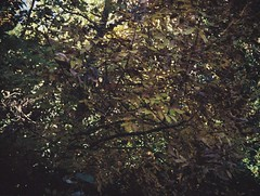 Leaves (Matthew Paul Argall) Tags: jcpenneyelectronicstrobepocketcamera fixedfocus 110 110film subminiaturefilm lomographyfilm 200isofilm autumn leaves