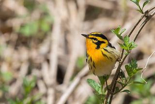 Paruline Gorge Orange / Blackburnian Warbler