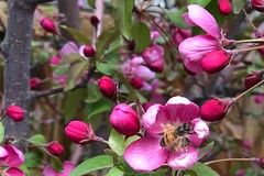 Busy Bee .... (Mr. Happy Face - Peace :)) Tags: pink floral flowers blossoms spring bee honey art2019 tree nature