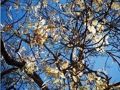 Yellow leaves (Matthew Paul Argall) Tags: agfamatic2008pocketsensor fixedfocus 110 110film subminiaturefilm lomographyfilm 200isofilm autumn autumnleaves