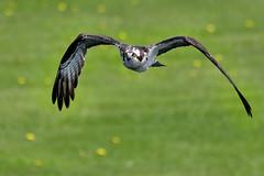 Balbuzard ------- Aigle pêcheur ------ Osprey ---------       águila pescadora (Jacques Sauvé) Tags: balbuzard aigle pêcheur osprey águila pescadora iroquois ontario canada