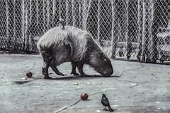Capybara (p) (davidseibold) Tags: usa animal america zoo unitedstates wildlife capybara postedonflickr photosbydavid jfflickr postedonello slidescan