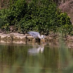 80D-229528.jpg (CitizenOfSeoul) Tags: naturfotografie naturphotography wiesen wasservögel ludwigsburg zugwiesen outdoorphotography outdoor naturschutzgebiet vögel natur wildlife
