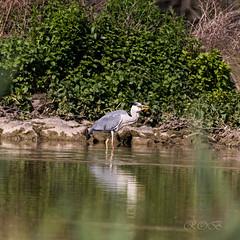 80D-229532.jpg (CitizenOfSeoul) Tags: naturfotografie naturphotography wiesen wasservögel ludwigsburg zugwiesen outdoorphotography outdoor naturschutzgebiet vögel natur wildlife