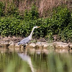 80D-229521.jpg (CitizenOfSeoul) Tags: naturfotografie naturphotography wiesen wasservögel ludwigsburg zugwiesen outdoorphotography outdoor naturschutzgebiet vögel natur wildlife