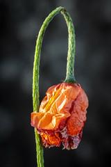Dying Poppy (144/365) (johnstewartnz) Tags: flower poppyflower dyingflower dyingpoppyflower nikcolorefexpro canon canonapsc apsc eos 100canon tripod 7dmarkii 7d2 7d canon7dmarkii canoneos7dmkii canoneos7dmarkii 100mm 100mmf28lmacro 100mmmacro 100 orangeandgreen greenandorange 144365 day144 onephotoaday oneaday onephotoaday2019 365project project365