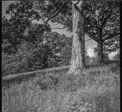 tree forms, hillside, tall grasses, Biltmore Estate, Asheville, NC, Bencini Koroll, Ilford FP4+, HC-110 developer, 5.24.19 (steve aimone) Tags: treeforms hillside tallgrasses biltmore biltmoreestate asheville northcarolina bencini bencinikoroll ilfordfp4 hc110developer landscape blackandwhite monochrome monochromatic mediumformat 120 120film film