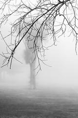 Late Autumn fog (145/365) (johnstewartnz) Tags: 7dmark2 7dmarkii burnsidepark canoneos7dmark2 canon eos 7d 70200mmf28 7d2 bw fog foggy monochrome canon7dmarkii canoneos7dmkii canoneos7dmarkii 70200mm 70200 70200f28 blackandwhite niksilvereffectspro nilsilverefexpro2 cabbagetree onephotoaday oneaday onephotoaday2019 365project project365 145365 day145