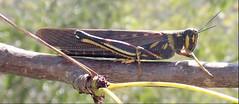 17 May Tagus Cove hike (brewbooks) Tags: hiking taguscove galapagos islaisabela isabela taxonomy:kingdom=animalia animalia taxonomy:phylum=arthropoda arthropoda taxonomy:subphylum=hexapoda hexapoda taxonomy:class=insecta insecta taxonomy:subclass=pterygota pterygota taxonomy:order=orthoptera orthoptera taxonomy:suborder=caelifera caelifera taxonomy:infraorder=acrididea acrididea taxonomy:superfamily=acridoidea acridoidea taxonomy:family=acrididae acrididae taxonomy:subfamily=cyrtacanthacridinae cyrtacanthacridinae taxonomy:tribe=cyrtacanthacridini cyrtacanthacridini taxonomy:genus=schistocerca schistocerca taxonomy:species=melanocera taxonomy:binomial=schistocercamelanocera schistocercamelanocera largepaintedlocust taxonomy:common=largepaintedlocust inaturalist:observation=26560986