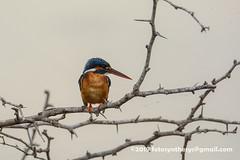Common Kingfisher (Alcedo atthis taprobana), female DSD_5315 (fotosynthesys) Tags: commonkingfisher alcedoatthistaprobana alcedoatthis kingfisher alcedinidae bird srilanka